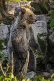 Young brown bear stands for a better view Stock Photos