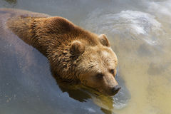 Young brown bear Stock Image