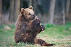 Young Brown bear (Ursus arctos). Playing with a piece of wood. (Deer park Poing, Germany Royalty Free Stock Photo