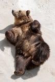 Young brown bear (Ursus arctos arctos) lying on the ground Stock Photography