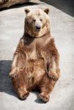 Young brown bear (Ursus arctos arctos) sitting on the ground Stock Photo