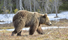 Young brown bear (Ursus arctos) on a bog in the forest in spring. Stock Image