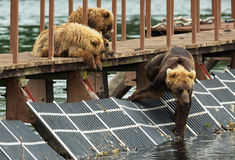 Young brown bear waiting prey on fence to account for fish. Kurile Lake. Stock Photos