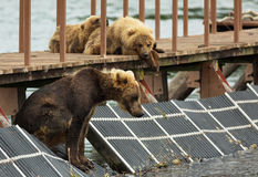 Young brown bear waiting prey on fence to account for fish. Kurile Lake. Stock Photo
