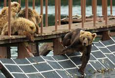 Young brown bear waiting prey on fence to account for fish. Kurile Lake. Royalty Free Stock Photos