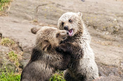 Young brown bears Royalty Free Stock Image