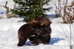 Young Brown Bears. Are playing, Ursus arctos Stock Photography