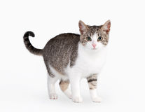 Young brown bicolor domestic cat Stock Images