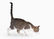 Young brown bicolor domestic cat. On white background Royalty Free Stock Photography