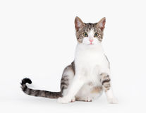 Young brown bicolor domestic cat Royalty Free Stock Photo