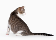 Young brown bicolor domestic cat. On white background Stock Photography
