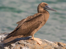 Young Brown Booby Bird Stock Photography