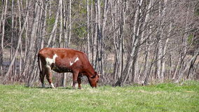 Young brown bull eats first grass Royalty Free Stock Images