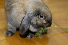 Young brown bunny. Brown rabbit eats dill on the floor stock photos