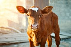 Young calf at an agricultural farm. A young brown calf at an agricultural farm Royalty Free Stock Images