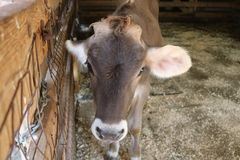 Young brown calf in a barn Stock Photography