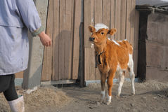 Young brown calf on a farm royalty free stock photo