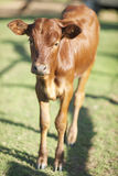 Young brown calf Stock Image