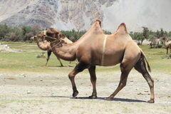 Young  brown Camel. Stock Image