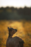 Young brown cameroon goat Royalty Free Stock Image