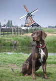 Young Brown Catahoula. Leopard Dog in Holland by the WindMill Royalty Free Stock Photos