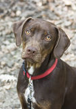 Young Brown catahoula. Louisiana Leopard Dog in Wood, autumnal picture, one year odl dog Stock Photo