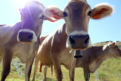 Young brown cattle with cowbells in the mountains Stock Photography