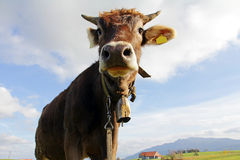 Young Brown cattle with horns and cowbells Royalty Free Stock Photo