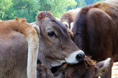 Young brown cattle on pasture Royalty Free Stock Photography