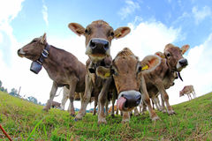 Young brown cattle on pasture Stock Images