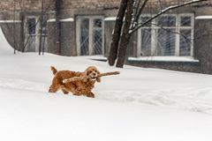 Young brown cocker dog walking with wooden stick in winter. Fun cute pet holding tree branch in mouth during walk in stock photography