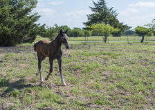 Young brown colt running through pasture Stock Images
