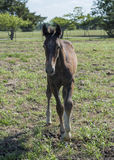 Young brown colt standing Royalty Free Stock Images