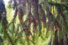Young brown cones are growing on a branch of spruce. Live natur stock photo