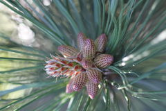Young brown cones on pine. Young brown cones on green pine close up Royalty Free Stock Images