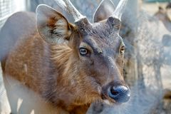 Young Brown deer with horn standing in lateral view a zoo Stock Photography