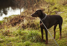 Young brown doberman. Stock Images
