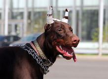 Young brown doberman dog with cropped ears Royalty Free Stock Photos