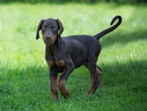young brown doberman puppy on green grass stock photo