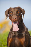 Young brown doberman puppy Stock Images