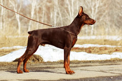Young brown dog Doberman Pinscher Royalty Free Stock Images
