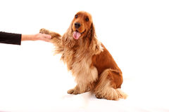 Young brown dog  on white Royalty Free Stock Photo