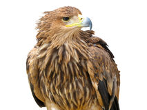 Young brown eagle Stock Images