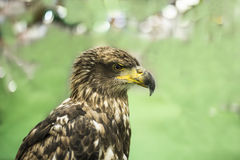 Young brown eagle. Close up Royalty Free Stock Photo