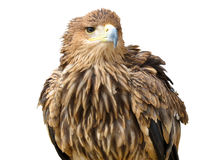 Young brown eagle sitting on a support Royalty Free Stock Image