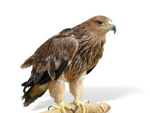 Young brown eagle sitting on a support Royalty Free Stock Photos