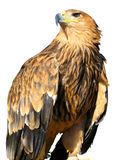 Young brown eagle sitting on a support Stock Photos