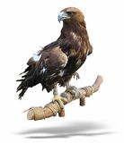 Young brown eagle sitting on a support Royalty Free Stock Photo