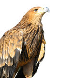 Young brown eagle sitting on a support isolated Stock Photography
