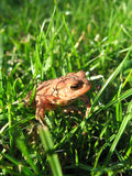 Young European Toad in Grass Royalty Free Stock Image